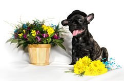French bulldog sitting or lying in next to a spring bouquet in a basket isolated Stock Photos