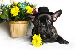 French bulldog sitting or lying in next to a spring bouquet in a basket isolated Royalty Free Stock Photo
