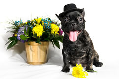 French bulldog sitting or lying in next to a spring bouquet in a basket isolated Royalty Free Stock Photography
