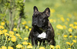 French bulldog. Sitting on a meadow in dandelions stock image