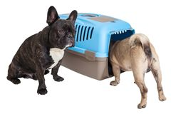 cfab1ef32592c2 French Bulldog sitting next to an animal carrier and pug. On white isolated  background royalty