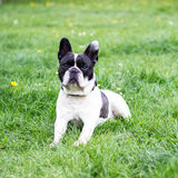 French Bulldog. Sitting in the park, portrait Royalty Free Stock Images