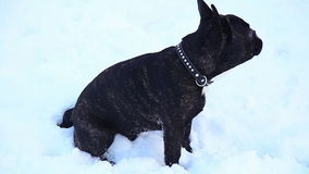 French Bulldog sitting. In the snow stock video