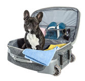 French bulldog sitting in suitcase Royalty Free Stock Photos
