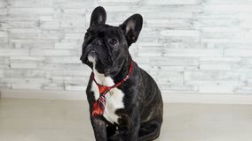 French bulldog sitting in a tie stock video footage