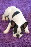 French bulldog sleeping on the carpet Royalty Free Stock Image