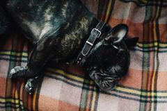 French bulldog sleeping on the couch on a plaid blanket next to his owner, close up royalty free stock photos