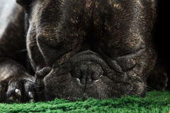 French bulldog sleeping Stock Image
