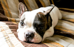 French bulldog. A French bulldog  is sleeping on the sofa Stock Images