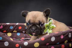 French bulldog small age puppy Stock Photography