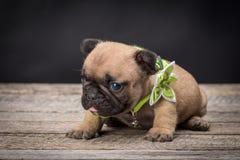 French bulldog small age puppy Stock Photo