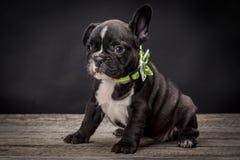 French bulldog small age puppy Stock Photos
