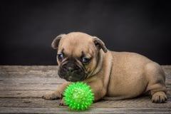 French bulldog small age puppy Royalty Free Stock Photos