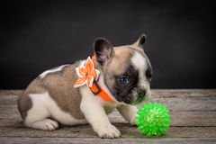 French bulldog small age puppy Royalty Free Stock Images