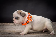 French bulldog small age puppy Stock Image