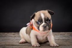 French bulldog small age puppy Royalty Free Stock Photo