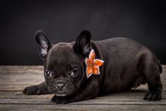French bulldog small age puppy Royalty Free Stock Photography