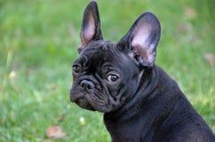 French bulldog Royalty Free Stock Photography