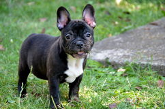 French bulldog. The French Bulldog is a small breed of domestic dog. `Frenchies` were the result in the 1800s of a cross between bulldog ancestors imported from Royalty Free Stock Photography