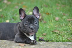 French bulldog. The French Bulldog is a small breed of domestic dog. `Frenchies` were the result in the 1800s of a cross between bulldog ancestors imported from Stock Images