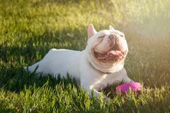 French bulldog with smiley faces lay down on grass. Happy dog po stock photos