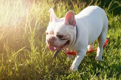 French bulldog with smiley faces walking on grass. Happy dog portrait with copy space. stock photo