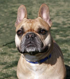 French Bulldog smiling for the camera. While at the park royalty free stock images