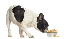 French Bulldog sniffing a bowl full of biscuits Stock Photos