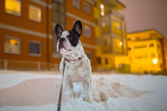 French bulldog in snowy winter Royalty Free Stock Photography