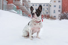 French bulldog in snowy winter Royalty Free Stock Image