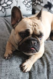 French bulldog on a sofa Stock Photography