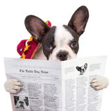 French bulldog in sombrero reading newspaper Stock Photography