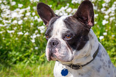 French bulldog in the spring garden Stock Images