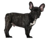 French bulldog, standing Stock Photo