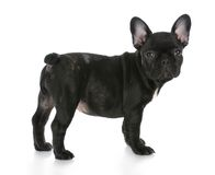 French bulldog standing Stock Images