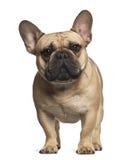 French Bulldog standing Stock Photo