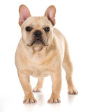 French bulldog Royalty Free Stock Photos