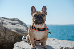 French Bulldog. Standing on the rocks by the sea Royalty Free Stock Photography
