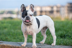 French bulldog. Standing on stone wall in front of a field Stock Photos
