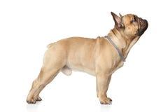 French bulldog standing Stock Image