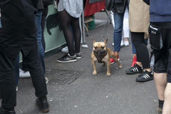 French bulldog stands on the pavement, facing the camera, in between the legs of his owners Stock Photo