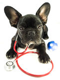 French bulldog in the stethoscope Royalty Free Stock Photo