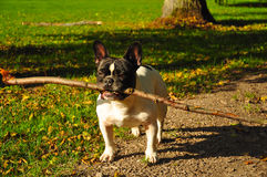 French bulldog with stick. French bulldog with long stick having fun in the autumn park royalty free stock photography