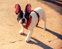 French Bulldog on the street. French Bulldog close-up: a verry funny tender and gentle  companion Stock Image