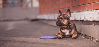 French bulldog street portrait. This is the result of a long walk with frenchy Stock Image