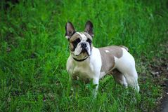 French bulldog on the street royalty free stock image