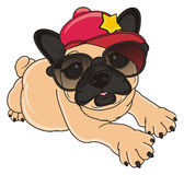 French bulldog in stylish stuffs. Beige french bulldog in cool cap and sunglasse Royalty Free Stock Photo