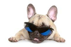 French bulldog in sunglasses Stock Image