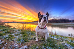 French bulldog at sunrise Stock Photos