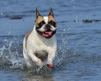 Dog running in water. Dog French Bulldog running in water a beautiful summer day Stock Image